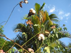 cotton tree