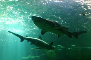 aquarium-requins